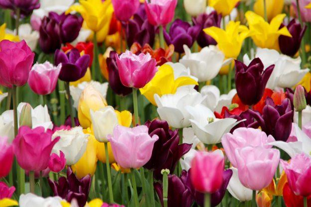 Aby na jaře zahrada kvetla, je třeba vysadit cibuloviny už nyní